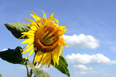 Смешной солнцецвет Стоковые Изображения RF