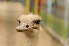 Смешной страус в зоопарке смотря камеру стоковое изображение