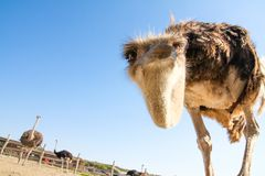 Смешной страус опрокидывает его голову и смотрит любознательно на телезрителе Стоковая Фотография