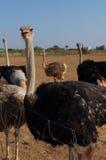 Смешной страус Стоковое Изображение