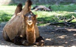 Смешной усмехаясь 2 humped верблюд Стоковая Фотография RF