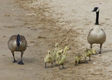 Смешной цыпленок имитирует его родителей Стоковое Изображение