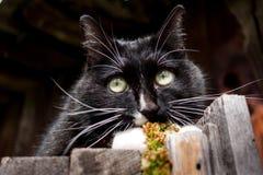 Смешной черно-белый кот лежит на старых деревянных загородке и caref Стоковые Изображения
