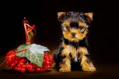 Смешной щенок йоркширского терьера маленькой собаки Стоковые Фото