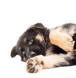 смешной щенок Стоковая Фотография