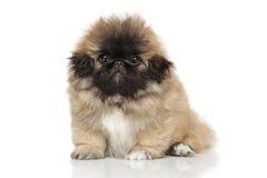 Смешной щенок Pekingese Стоковое фото RF