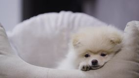 Смешной щенок Pomeranian в кровати любимчика акции видеоматериалы