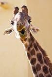 смешной giraffe стоковое изображение rf