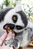 Смешной lemur стоковое изображение rf
