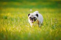 смешной pug Стоковые Фото