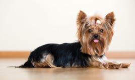 смешной terrier yorkshire Стоковые Фото