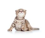 Смешно немногая шотландский котенок створки смотря вверх стоковая фотография rf