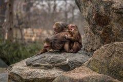 смешно очень Обезьяны делая влюбленность и усмехаясь на зоопарке в Берлине стоковое фото rf