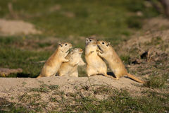 Смешные грызуны Стоковые Фото