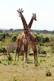 Смешные жирафы Стоковые Изображения RF