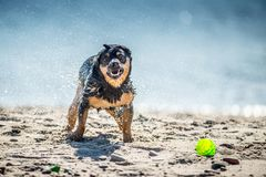Смешные игры собаки приближают к воде, брызгая капельки стоковая фотография rf