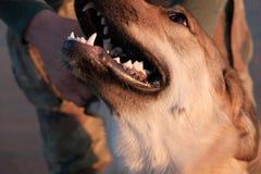 Смешные изображения Retriever щенка золотого на заходе солнца на море Стоковое фото RF