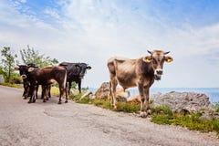 Смешные коровы на узкой дороге горы Стоковое Изображение RF