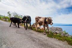 Смешные коровы на узкой дороге горы Стоковая Фотография