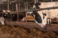 Смешные коровы на ферме смотрят в объектив фотоаппарата Стоковые Изображения RF