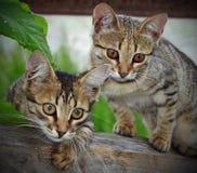 Смешные котята Стоковые Фотографии RF