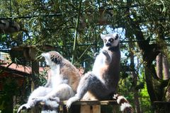 Смешные лемуры играя с посетителями в зоопарке de Ла palmyre во Франции стоковое изображение rf