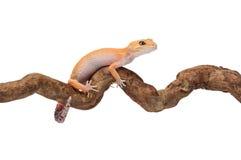 Смешные малые гекконовые вставленные на ветви Стоковая Фотография RF