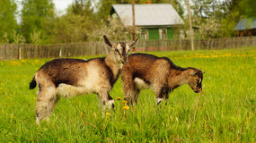 Смешные молодые коричневые козы на луге Стоковое Изображение RF
