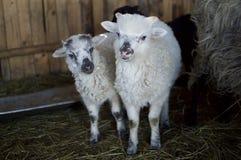 Смешные овечки Стоковое Изображение RF