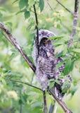 Смешные пушистые сычи птенеца сидя среди листьев дерева Стоковое Изображение