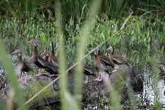 Смешные свистя утки на Ocala, Флориде стоковая фотография rf