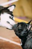 Смешные симпатичные собаки - собаки маламута и французского бульдога для того чтобы расцеловать один другого стоковое изображение rf
