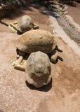 Смешные смотря черепахи Стоковая Фотография RF