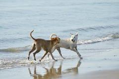 Смешные собаки на пляже Стоковые Фотографии RF