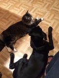 Смешные стороны Джордж озорной кот Mainecoon Стоковая Фотография