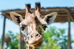 смешные улыбки жирафа и гримасы, строения его сторона, Стоковое Изображение