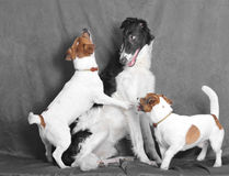 смешные terriers стоковые фотографии rf