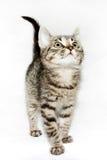 Смешным смотреть striped котенком вверх, Стоковые Изображения