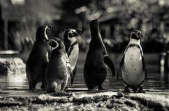 5 смешных африканских пингвинов в черно-белый waddling к воде Стоковая Фотография