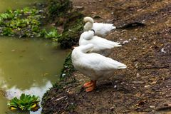 3 смешных белых гусыни Стоковые Изображения