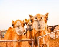 3 смешных верблюда смотря в камеру Стоковая Фотография RF