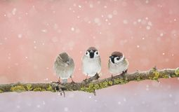 3 смешных маленьких птицы воробья сидя на ветви в парке Стоковое Изображение RF