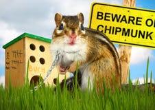 Смешоной злостый chipmunk Стоковые Изображения
