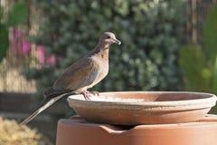 Смеясь голубь держа семя стоковое фото