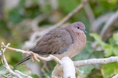 Смеясь голубь садить на насест на дереве стоковые фотографии rf
