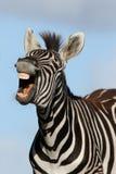 смеясь над зебра Стоковые Изображения RF