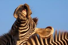 смеясь над зебра Стоковые Фото