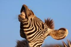 смеясь над зебра Стоковое Фото