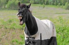 Смеясь над лошадь Стоковое Изображение
