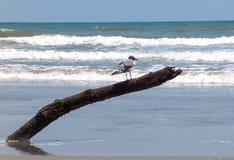 Смеясь над чайка на пляже океана Стоковая Фотография